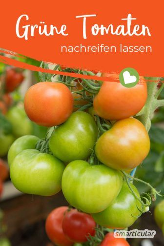 Grune Tomaten Nachreifen Lassen Mit Diesen Tipps Gelingt S Tomaten Nachreifen Lassen Tomaten Grune Tomaten