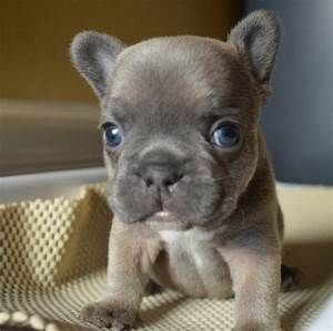 Mini French Bull Dog That Is Light Grey With Bright Blue Eyes