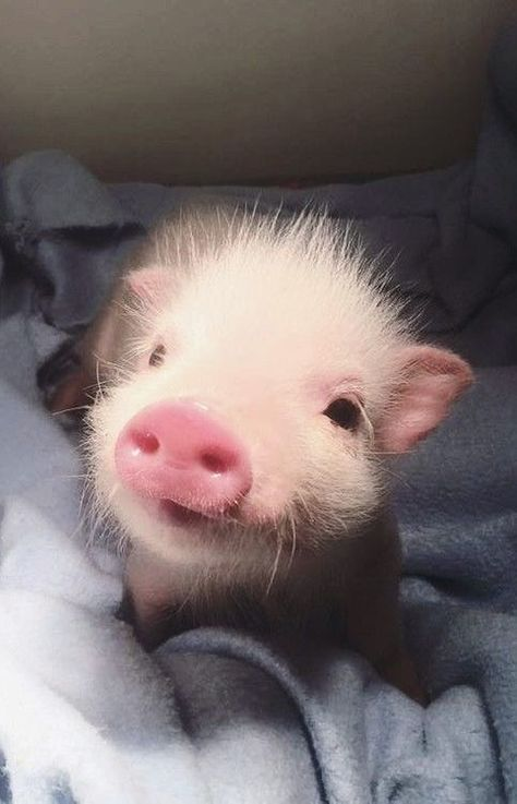 66 Ideas for baby animals pig Cute Baby Pigs, Cute Piglets, Baby Animals Super Cute, Cute Little Animals, Cute Funny Animals, Baby Teacup Pigs, Little Pigs, Baby Animals Pictures, Cute Animal Pictures