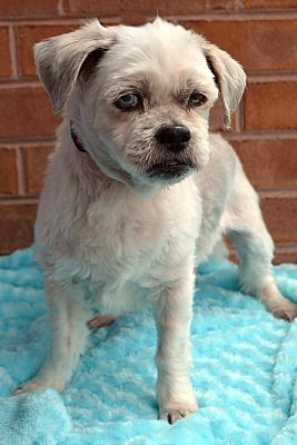 Bridgeton Mo Senior Shih Tzu Meet Rumba A Dog For Adoption