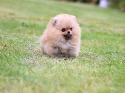 All Puppies For Sale Teacup Dogs For Sale Teacup Pomsky Pom Poodle In 2020 Teacup Puppy Breeds Puppy Breeds Puppies