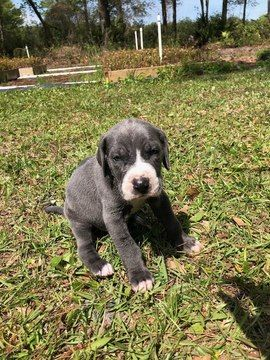 Great Dane Puppy For Sale In Brunswick Ga Adn 70902 On