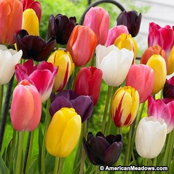 Single Late Tulip Bulb Mix Bulb Flowers Tulip Bulbs Tulips Flowers