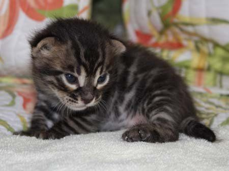 Charcoal Bengal Kitten Bengal Kitten Bengal Cat Bengal Cat For