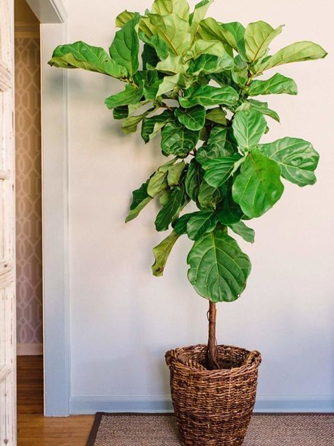 Fiddle Leaf Fig Grow Guide for Indoor Houseplants
