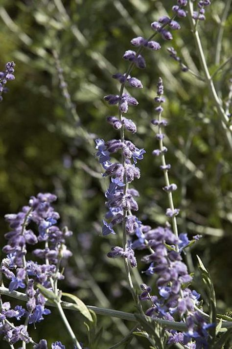 Perovskia Atriplicifolia Flower Seeds Russian Sage Price Per 1 Packet In 2020 Flower Seeds Russian Sage Herb Seeds
