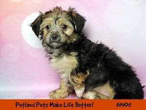 Dogs Puppies For Sale Petland Chicago Ridge Illinois Pet