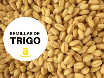 Semillas De Trigo Deshidratador De Alimentos Trigo Plantas Comestibles