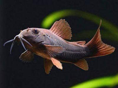 Black Venezuelan Cory Tropical Fish Aquarium Pet Fish Freshwater Fish