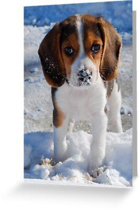I M Innocent Greeting Card By Pamela Hubbard Cute Beagles