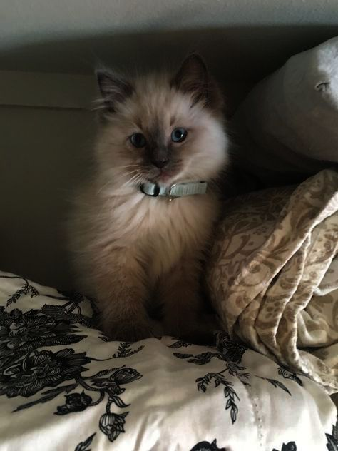 Kittens For Sale In Ky : kittens, Kittens, Without, Animals, Happy, Wednesday, Ragdoll, Kitten,, Facts
