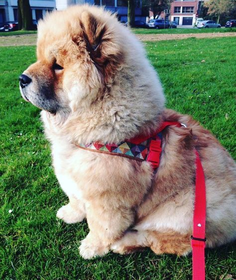 Handmade Harness Of The Month March 2016 Missflo Chow Chow