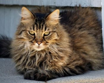 Cat S Information American Long Hair Cat In 2020 Long Haired Cats Cats Norwegian Forest Cat