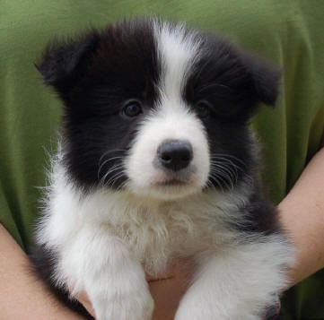 Stellaxepic Collie Puppies Border Collie Puppies Cute Dogs Breeds