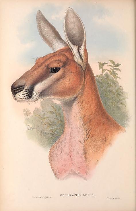 V 2 1863 The Mammals Of Australia Biodiversity Heritage Library Photosofaustralia With Images Mammals Animals Australian Native Animals