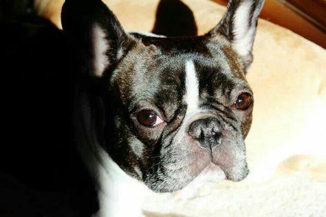 Chuckie, the French Bulldog
