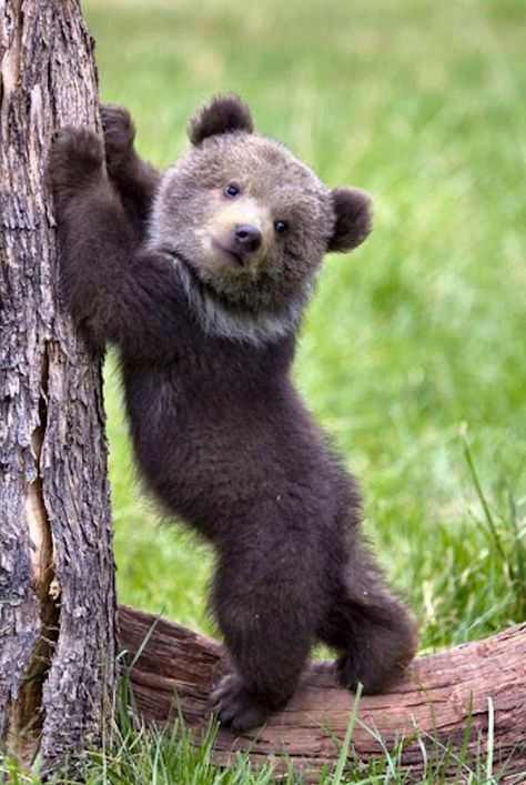 I love baby bear cubs! Nature Animals, Animals And Pets, Wild Animals, Cute Baby Animals, Funny Animals, Photo Ours, Black Bear Cub, Bear Cubs, Grizzly Bears