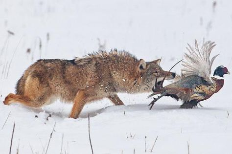 Coyote Calling Tips: The 4 Types of Calls You Need to Know -by Rich Higgins  /  Posted on January 26, 2014