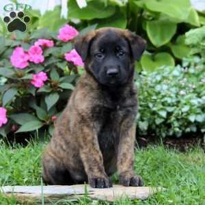 Rosie Belgian Malinois Mix Puppy For Sale In Pennsylvania Belgian Malinois Puppies Puppies For Sale