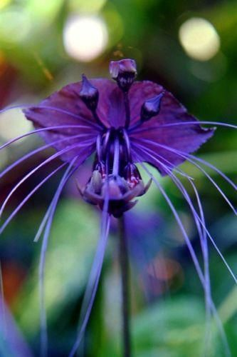 10 Black Bat Flower Tacca Chantrieri Cat's Whiskers Seeds. The Black bat flower, Tacca chantrieri, is a species of flowering plant in the yam family Dioscoreaceae. Tacca chantrieri is an unusual plant in that it has black flowers. These flowers are somewhat bat-shaped, are up to 12 inches across, and have long 'whisker