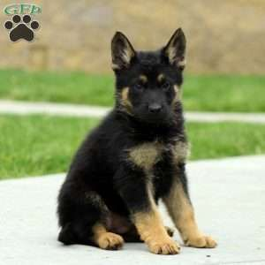 German Shepherd Puppies For Sale Gsd Puppies Greenfield