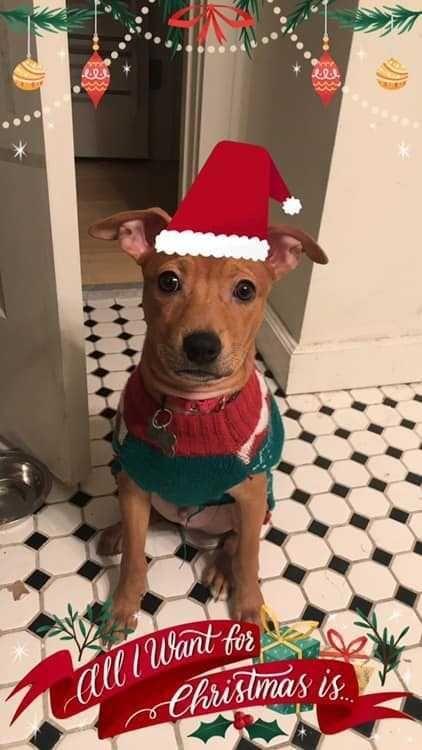 Adopt Nibs Pithuahua On Pitbull Terrier Chihuahua Mix Dogs