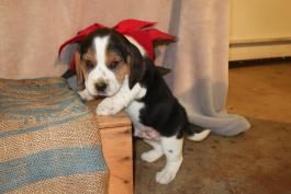 Beagle Puppies For Sale Page 2 Lancaster Puppies Beagle