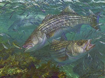 Striped Bass Art Fish Art Aquatic Art Striper Fish