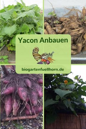 Yacon Knollen Anbauen Gesund Und Frisch Biogarten Füllhorn Biogarten Pflanzen Garten