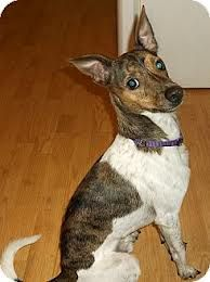 Brindle Rat Terrier Pictures Google Search With Images Rat