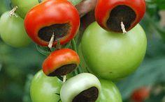 Klettergerüst Tomate : Wenn tomaten faulen garten pinterest und