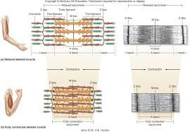 Image Result For Relaxed Muscle Partially Contracted Muscle And Fully Contracted Muscle Myofilaments Muscle Relaxed Anatomy