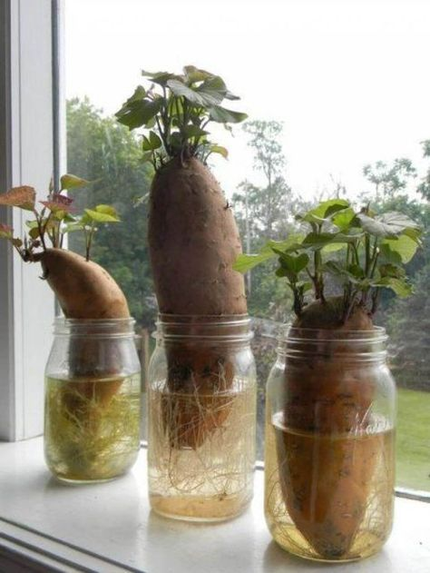 Grow your own sweet potatoes at home by placing the end of one into a jar, acouple of inches off of the bottom. Soon roots will start to grow on the bottom. Once the growth is a few inches long, remove them from the potato and plantin soil like you would in any other vegetable garden.  Get the full tutorial at Home Joys »