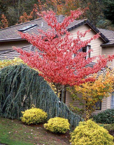 Giant Dogwood Tree Dogwood Trees Winter Garden Shade Trees