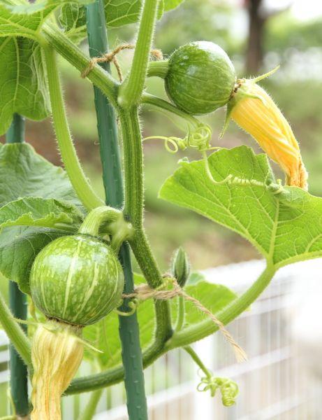 かぼちゃの育て方 果園 野菜作り プランター 菜園