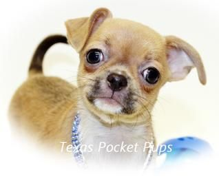 Dallas Tx Teacup Chihuahua Puppies For Sale Dallas Texas Breeder Teacup Chihuahua Puppies Chihuahua Puppies Chihuahua Puppies For Sale