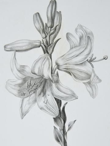 Realistic Lily Flower Drawing : realistic, flower, drawing, Vincent, Botanical, Stipple, Engraving., Lily., #110274373, Realistic, Flower, Drawing,, Sketches,, Lilies, Drawing