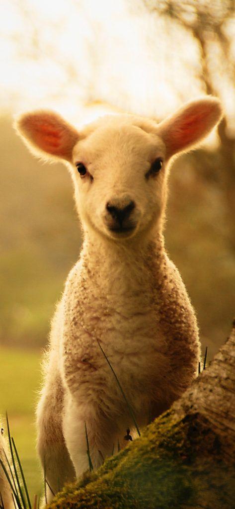 Iphone X Wallpaper Cute Lamb Cute Lamb Pet Fox Cute Sheep