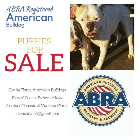 Birt S American Bulldogs Abra Registered Puppies For Sale