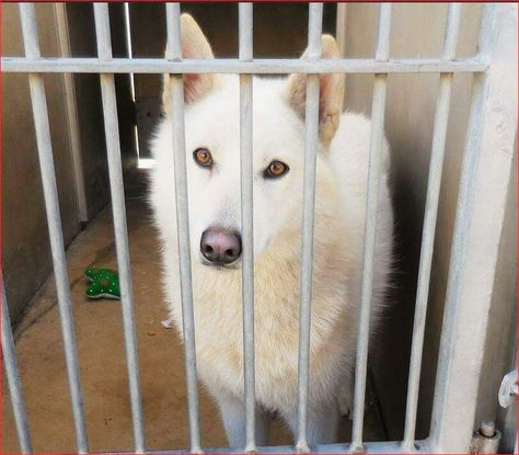 "URGENT EUTH LISTED! Beautiful spayed Husky needs rescue now! Please share! Orange County Shelter, CA ""MIA"" A1339361 S 1 Year 6 Months WHITE SIBERIAN HUSKY 12/26/2014 OC Animal Care. 561 The City Drive South, Orange, CA. 92868 Telephone: 714.935.6848 Hours: Monday - Sunday 10:00am - 5:00pm Wed -10:00am - 7:00pm . Website: http://media.ocgov.com/gov/occr/animal/default.asp"