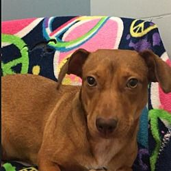 Available Pets At Dachshund Rescue South Florida In Weston Florida Dachshund Adoption Dachshund Rescue Pet Adoption