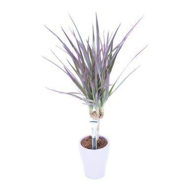 Dracena Obrzezona 30 35 Cm Kwiaty Doniczkowe W Atrakcyjnej Cenie W Sklepach Leroy Merlin