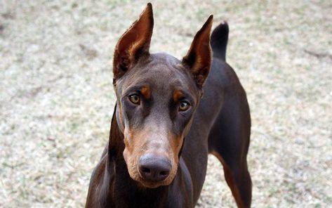 Dog Doberman Brown Dog Pets Dobermann Und Hunde