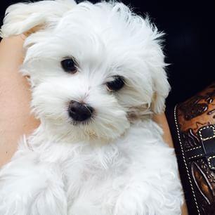 Maltese Dog Breed Information Maltese Dogs Maltese Dog Breed
