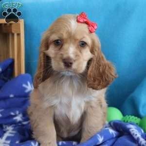 Dixie Cocker Spaniel Puppy For Sale In Ohio In 2020 Cocker Spaniel Puppies Puppies For Sale Cocker Spaniel