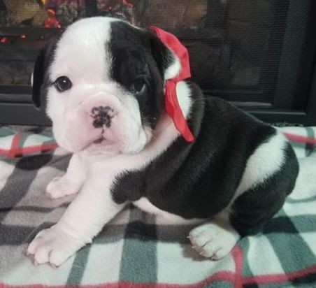 Nellie Is A Black And White Female English Bulldog Puppy American