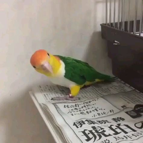 Is your budgie scared of you? This can be changed