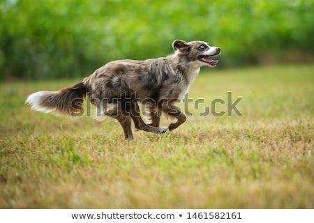 Stock Photo Australian Shepherd Dog Running In A Summer Meadow Pet Dogs Australian Shepherd Australian Shepherd Dogs