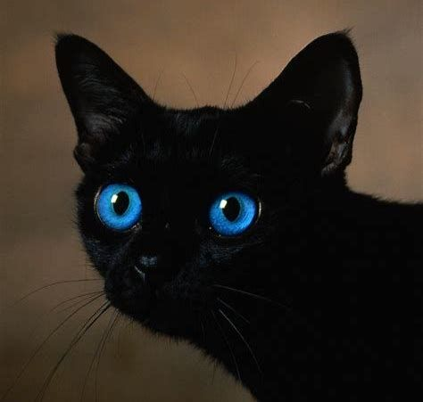 Image Result For Black Cats With Blue Eyes Cat With Blue Eyes Fluffy Black Cat Black Cat Anime