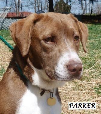 Adopt Parker On Dogs Pet Care Retriever Dog
